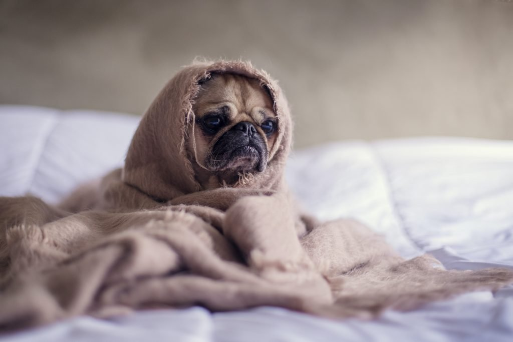 Pug with blanket on bedspread